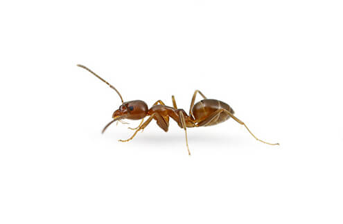 Argentine Ants live in large colonies, sometimes covering entire habitats such as an entire garden.