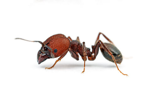 Big-Headed Ants are most commonly found in Hawaii, Florida and U.S. gulf coast states and are known for their aggressive, invasive nature that displaces native insect species.