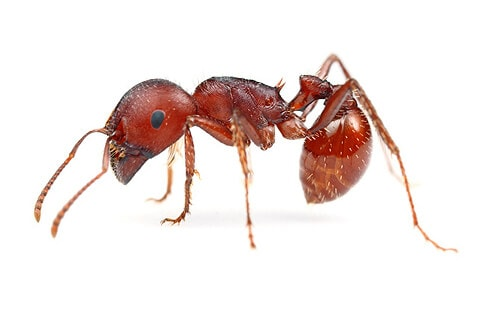 Harvester Ants build deep, underground nests in dry, desert-like conditions and are strong biters and sharp stingers.