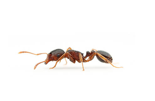 Pavement Ants will eat almost anything, including insects, grease, seeds, honey, bread, meats, nuts and cheese.