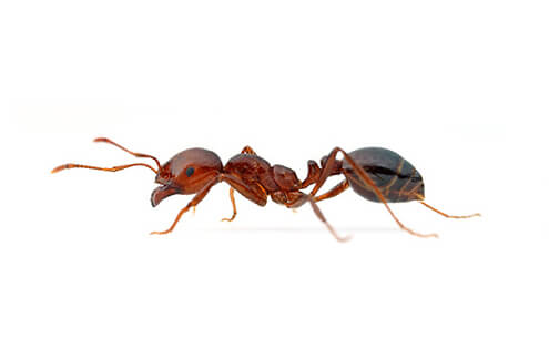 Red Imported Fire Ants are omnivores, active and aggressive who will sting any intruder repeatedly, injecting venom that is usually painful and sometimes fatal.