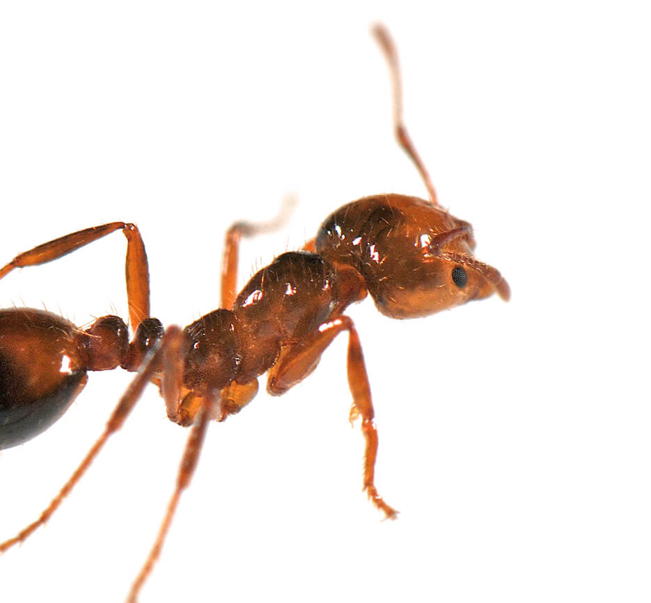 A close up photo of an ant with the little hairs on it's body in focus.